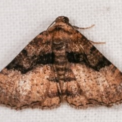 Aporoctena (genus) (A Geometrid moth) at Melba, ACT - 11 Nov 2020 by kasiaaus