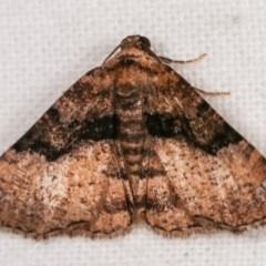 Aporoctena (genus) (A Geometrid moth) at Melba, ACT - 11 Nov 2020 by kasiaaus
