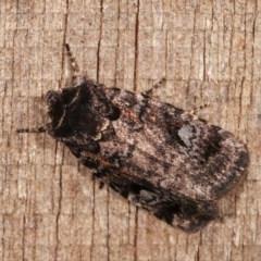 Thoracolopha verecunda (A Noctuid moth (group)) at Melba, ACT - 11 Nov 2020 by kasiaaus