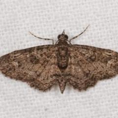 Chloroclystis filata (Filata Moth, Australian Pug Moth) at Melba, ACT - 11 Nov 2020 by kasiaaus