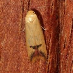 Tachystola hemisema (A Concealer moth) at Melba, ACT - 11 Nov 2020 by kasiaaus