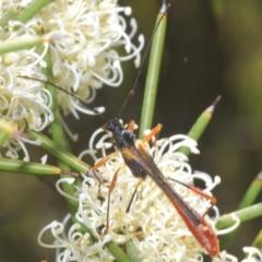 Macrones besti (Longhorn beetle) at Gibraltar Pines - 18 Nov 2020 by Harrisi