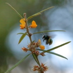 Xylocopa aeratus (Metallic Green Carpenter Bee) at Acton, ACT - 17 Nov 2020 by TimL