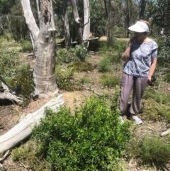 Billardiera heterophylla (Western Australian Bluebell Creeper) at Gossan Hill - 18 Nov 2020 by goyenjudy