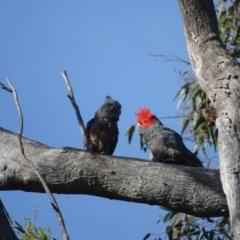 Callocephalon fimbriatum (Gang-gang Cockatoo) at Mount Mugga Mugga - 18 Nov 2020 by Mike