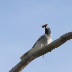 Coracina novaehollandiae (Black-faced Cuckooshrike) at Dryandra St Woodland - 18 Nov 2020 by ConBoekel