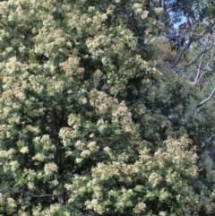 Lepidoscia (genus) at Dryandra St Woodland - 19 Nov 2020