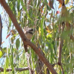 Rhipidura albiscapa (Grey Fantail) at Dryandra St Woodland - 18 Nov 2020 by ConBoekel