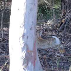 Oryctolagus cuniculus (European Rabbit) at Dryandra St Woodland - 18 Nov 2020 by ConBoekel