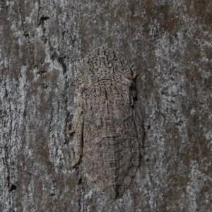 Stenocotis sp. (genus) at Dryandra St Woodland - 19 Nov 2020