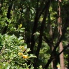 Xylocopa aeratus (Metallic Green Carpenter Bee) at ANBG - 18 Nov 2020 by TimL