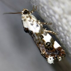 Acontia nivipicta (Blotched Shoulder) at O'Connor, ACT - 18 Nov 2020 by ibaird