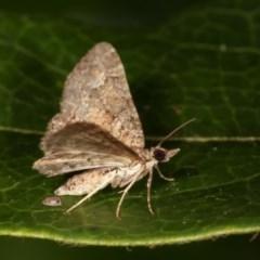 Epyaxa sodaliata (A geometer moth) at Melba, ACT - 11 Nov 2020 by kasiaaus