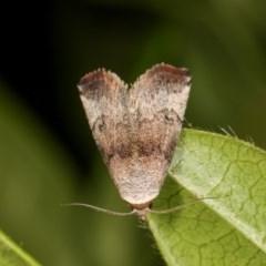Mataeomera mesotaenia (Mini Owlet Moth) at Melba, ACT - 11 Nov 2020 by kasiaaus