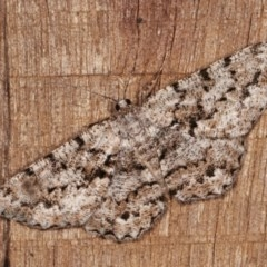 Unplaced externaria (Mahogany Bark Moth) at Melba, ACT - 11 Nov 2020 by kasiaaus