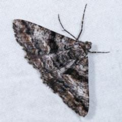 Gastrinodes argoplaca (Cryptic Bark Moth) at Melba, ACT - 11 Nov 2020 by kasiaaus