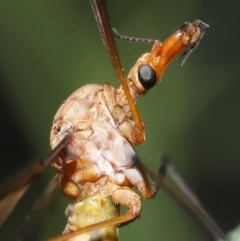 Leptotarsus (Macromastix) sp. (genus & subgenus) (Unidentified Macromastix crane fly) at ANBG - 18 Nov 2020 by TimL