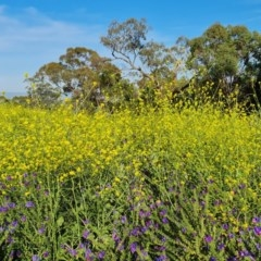 Hirschfeldia incana (Buchan Weed, Yellow Turnip Weed, Hairy Brassica) at Scrivener Hill - 18 Nov 2020 by Mike
