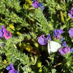 Pieris rapae (Cabbage White) at Scrivener Hill - 18 Nov 2020 by Mike
