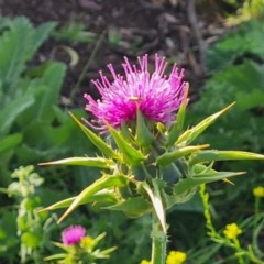 Silybum marianum (Variegated Thistle) at Scrivener Hill - 18 Nov 2020 by Mike