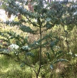 Acacia baileyana at Gossan Hill - 3 Nov 2020