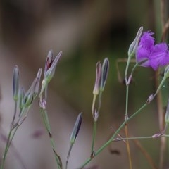 Thysanotus tuberosus (Common Fringe-lily) at Nail Can Hill - 18 Nov 2020 by Kyliegw