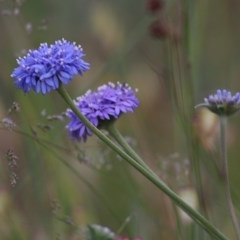 Brunonia australis (Blue Pincushion) at Albury - 18 Nov 2020 by Kyliegw