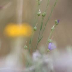 Linum marginale (Native Flax) at Albury - 18 Nov 2020 by Kyliegw