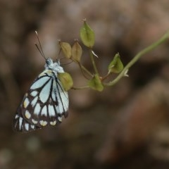 Belenois java (Caper White) at Nail Can Hill - 18 Nov 2020 by Kyliegw