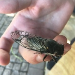 Psaltoda moerens (Redeye Cicada) at Phillip, ACT - 19 Nov 2020 by Tapirlord