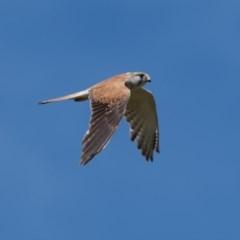 Falco cenchroides (Nankeen Kestrel) at Canyonleigh - 18 Nov 2020 by NigeHartley