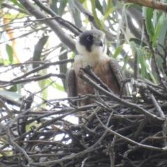 Falco longipennis (Australian Hobby) at Kambah, ACT - 19 Nov 2020 by HelenCross