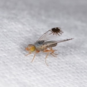 Trupanea (genus) at Melba, ACT - 12 Nov 2020
