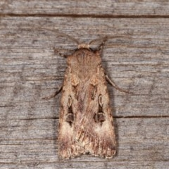 Agrotis munda (Brown Cutworm) at Melba, ACT - 11 Nov 2020 by kasiaaus