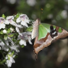 Graphium macleayanum (Macleay's Swallowtail) at ANBG - 17 Nov 2020 by TimL