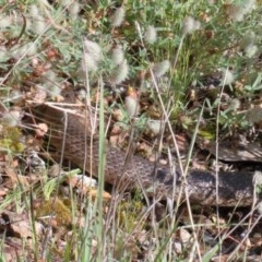 Pseudonaja textilis (Eastern Brown Snake) at Dryandra St Woodland - 13 Nov 2020 by ConBoekel