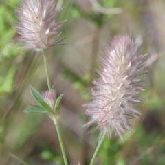 Trifolium arvense var. arvense (Haresfoot Clover) at Dryandra St Woodland - 13 Nov 2020 by ConBoekel