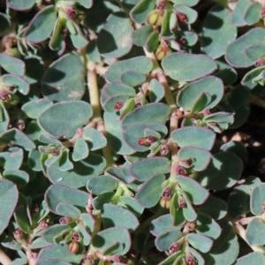 Euphorbia dallachyana at Dryandra St Woodland - 14 Nov 2020