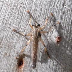 Zosteria sp. (genus) (Common brown robber fly) at Dryandra St Woodland - 13 Nov 2020 by ConBoekel
