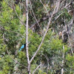 Todiramphus sanctus (Sacred Kingfisher) at Dryandra St Woodland - 13 Nov 2020 by ConBoekel