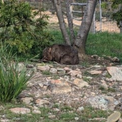 Vombatus ursinus (Wombat) at Currawang, NSW - 6 Nov 2020 by camcols
