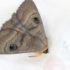 Dasypodia selenophora (Southern old lady moth) at Higgins, ACT - 19 Nov 2020 by AlisonMilton