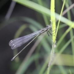 Austroargiolestes icteromelas (Common Flatwing) at Anembo, NSW - 19 Nov 2020 by AlisonMilton
