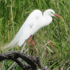 Ardea intermedia (Intermediate Egret) at Jerrabomberra Wetlands - 19 Nov 2020 by Christine