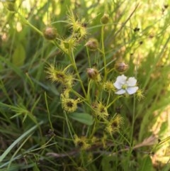 Drosera hookeri (Pale Sundew) at Collector, NSW - 20 Nov 2020 by JaneR