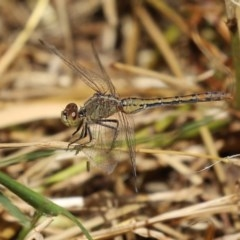 Diplacodes bipunctata (Wandering Percher) at Jerrabomberra Wetlands - 18 Nov 2020 by RodDeb