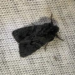 Neumichtis nigerrima (Black Turnip Moth) at Aranda, ACT - 19 Nov 2020 by KMcCue