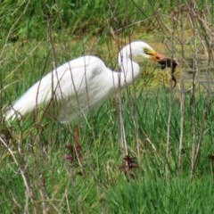 Ardea intermedia (Intermediate Egret) at Jerrabomberra Wetlands - 18 Nov 2020 by RodDeb