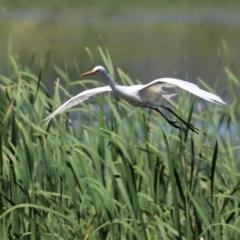 Ardea intermedia at Jerrabomberra Wetlands - 19 Nov 2020