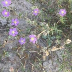 Spergularia rubra (Sandspurrey) at Collector, NSW - 20 Nov 2020 by JaneR